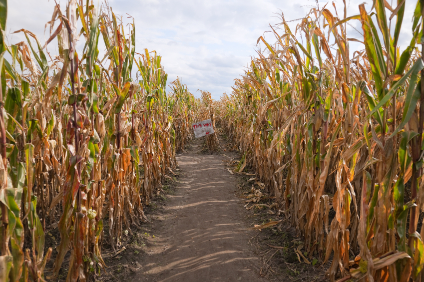 The entrance to a corn maze invites you in É if you dare! Focus is on the 'this way' sign, written in blood.