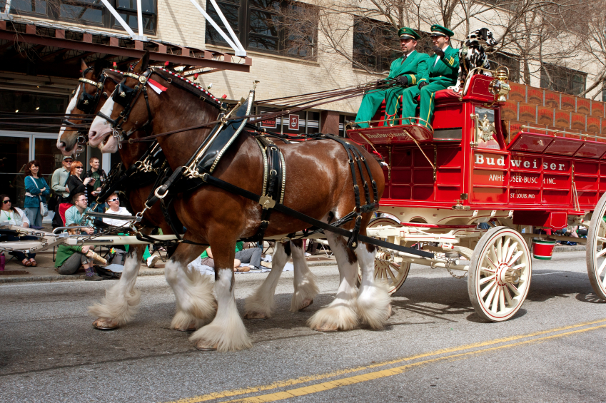 Atlanta, GA, USA - March 15, 2014: The famous Budweiser Clydesdales move down Peachtree Street in the St. Patrick's parade.