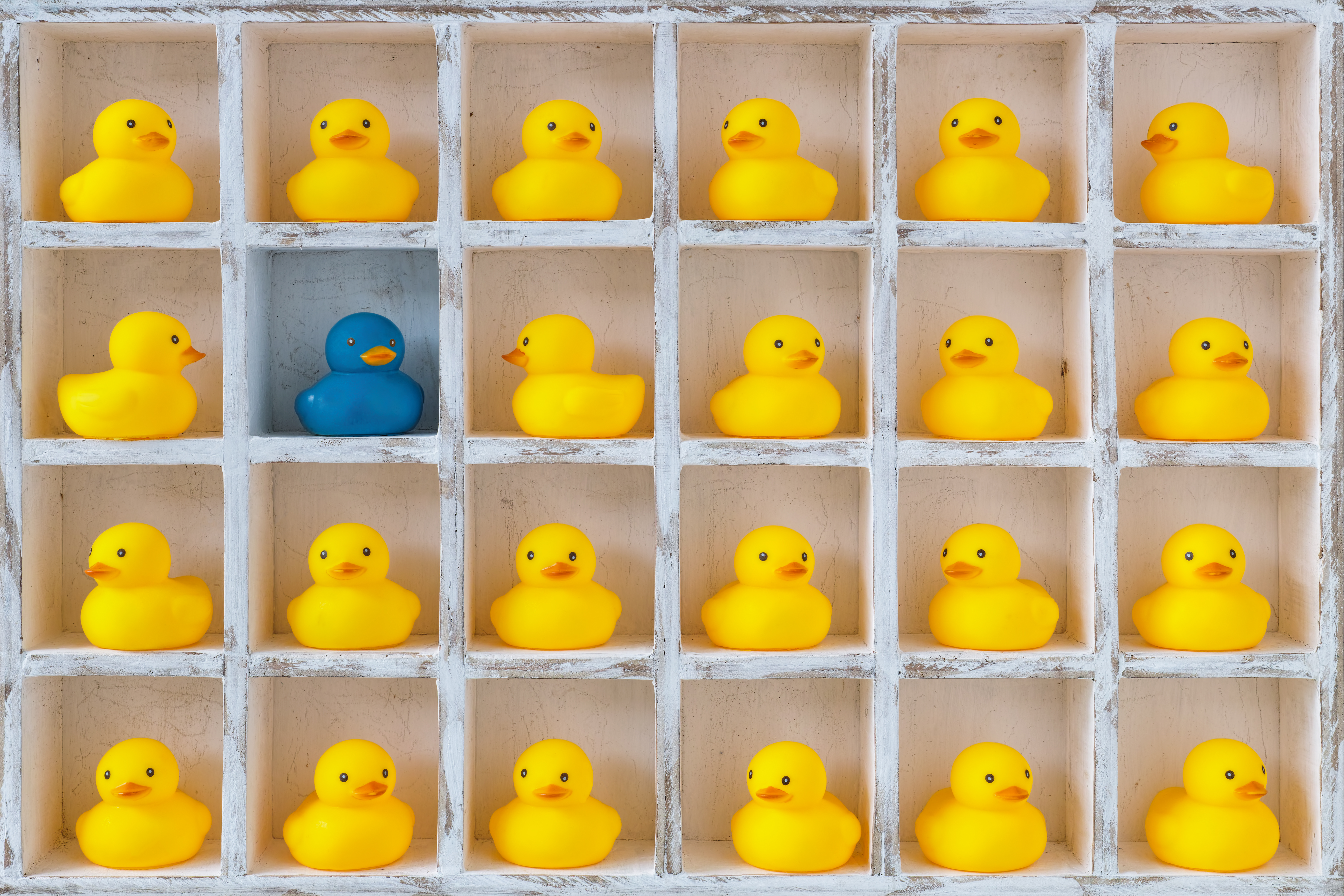 Pigeon hole box with 24 boxes, 23 are filled with small yellow rubber ducks and one has a differeent coloured blue duck. Concept image representing standing out from the crowd, being different, not fitting in etc.