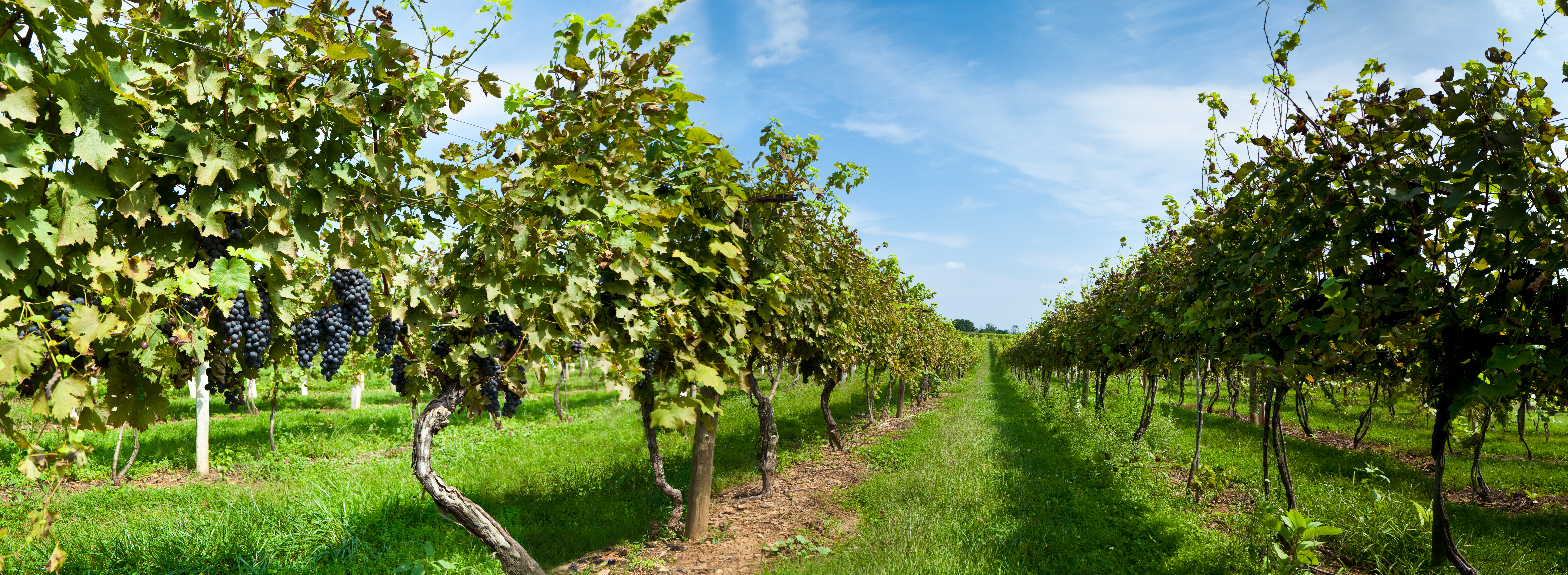 A vineyard with ripe red grapes ready to harvest.I invite you to view some of my other agricultural Images: