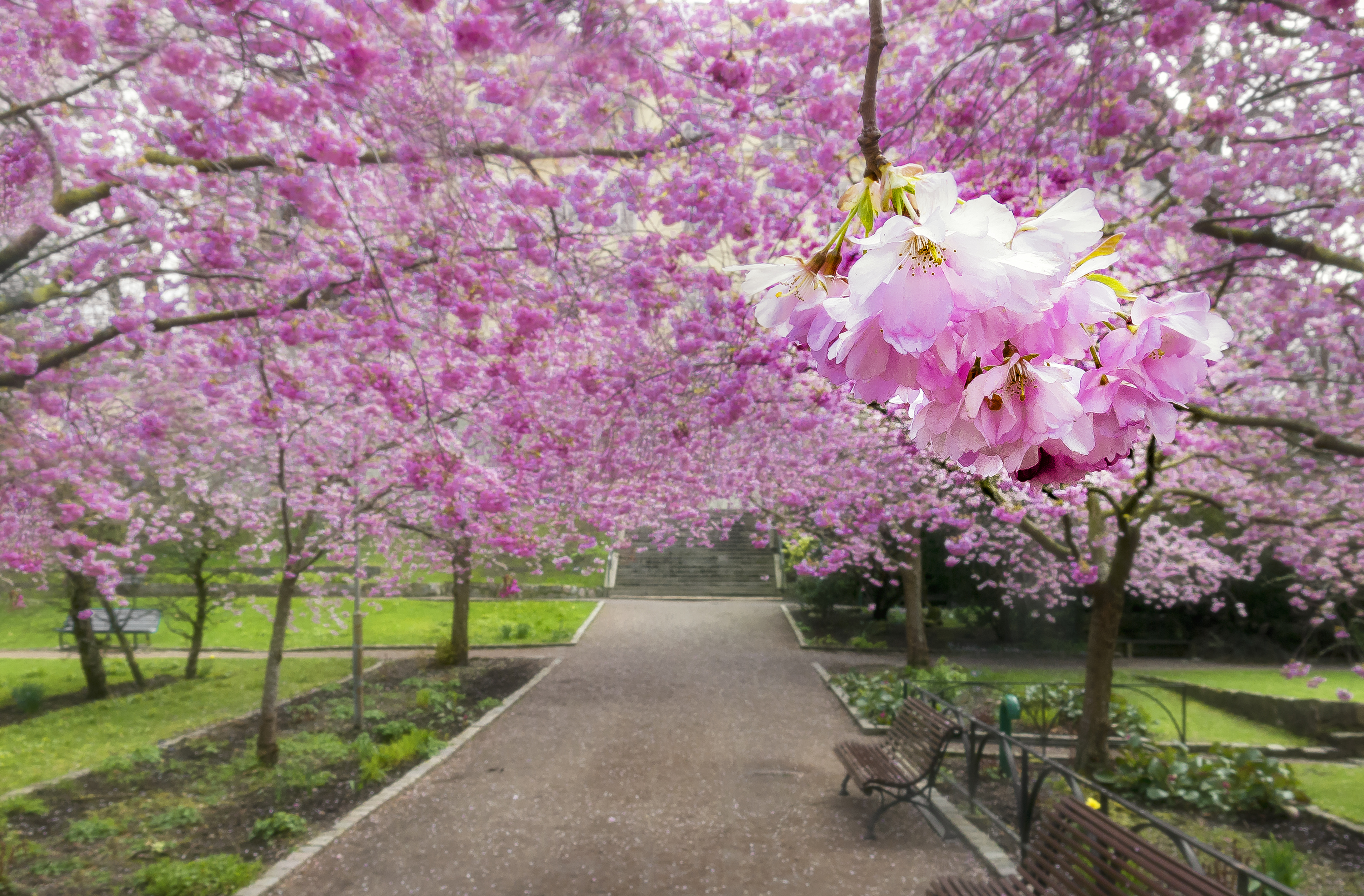 Magic light in cherry tree park, gossamer processed. Wind shaking petals from flowers